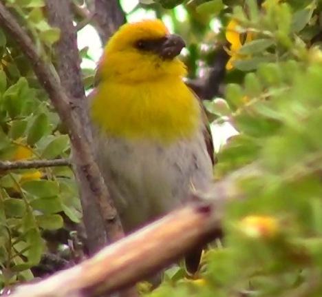 A Palila Bird