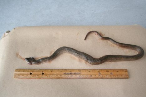This is the snake that was found in Hilo Harbor back in 2007