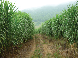 Giant King Grass was released from quarantine by the USDA Animal and Plant Health Inspection Services for Distribution in the U.S. in 2012.