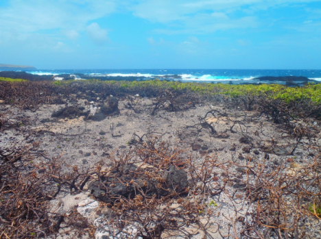 Burned Naupaka patch (last year). Photo by M. Lamson.