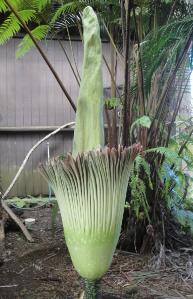 The Corpse Plant blooms at the Panaewa Zoo.
