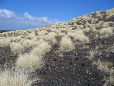 Fountain grass dominating this lava landscape in the Ka'ū District. Photo NPS