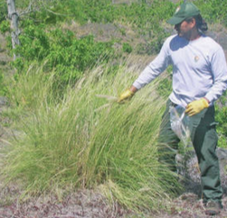 Volunteers needed to help control fountain grass along roadways in Hawaii Ocean View Estates (HOVE). Fountain grass increases fire potential, and the park is working to prevent its spread in HOVE and keep it from establishing in the Kahuku unit. Photo NPS