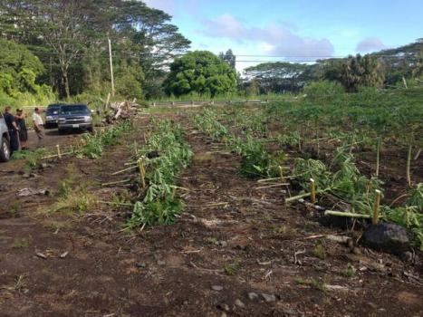 Papaya Trees cut down at  Bernardos Farm.