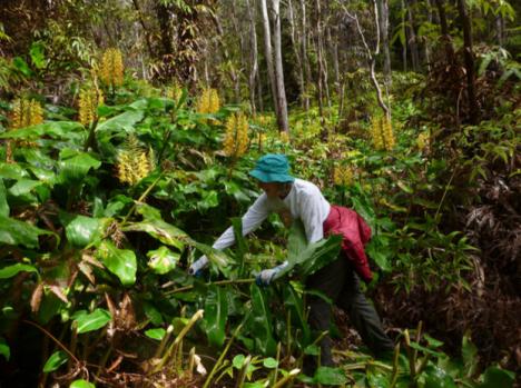 Volunteer Marilyn Nicholson helps eliminate invasive Himalayan or kāhili  ginger near Halema'uma'u Trail in Hawai'i Volcanoes National Park. Photo NPS