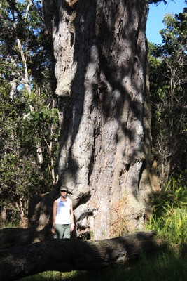 A huge Koa Tree