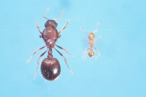Little Fire Ant – Queen and worker ant