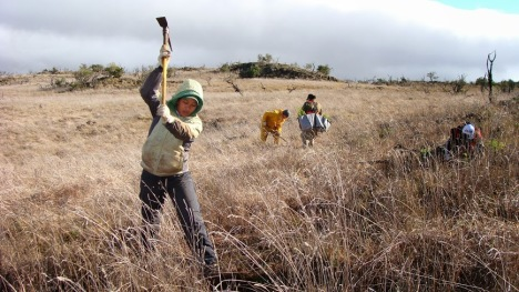With critical support from the U.S. Fish and Wildlife Service, is replacing the fence that encircles the majority of Palila critical habitat on Mauna Kea to prevent sheep and goats on adjacent lands from entering protected areas, while also removing the non-native ungulates from within the fence that destroy the native forests. Photo by Robert Stephens, Coordinator for DOFAW's Mauna Kea Forest Restoration Project