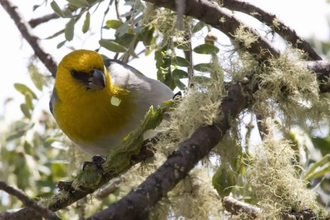 The Palila is a gorgeous, unique Hawaiian treasure, but unfortunately not enough people are aware of its precarious situation. We believe educating people about the importance of this species and the threats we are managing today, will build local and national support for the actions necessary to preserve this bird for future generations. --  Chris Farmer, American Bird Conservancy's Science Coordinator for Hawai'i.  Photo by R. Kohley.