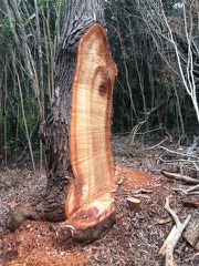 A slab was brutally cut from this koa tree, which subsequently killed the tree in Kōke'e State Park, Kauai