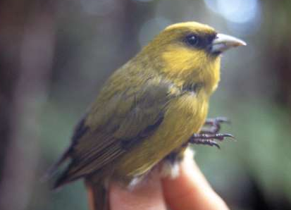 Hawaiian Honeycreeper Photographer: Carter Atkinson, USGS