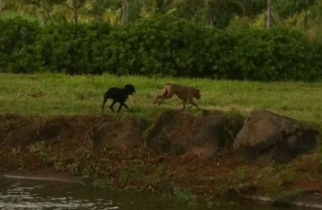 Have seen these dogs in the Moloa`a area …