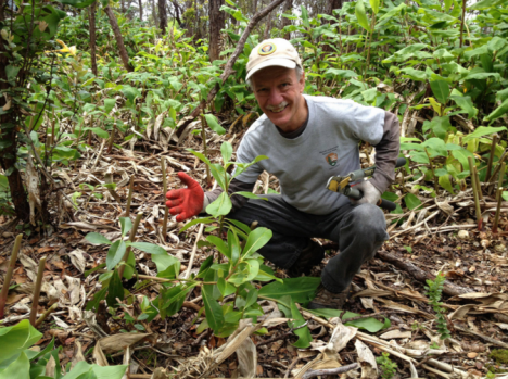 Park volunteer and Stewardship at the Summit project leader Paul Field shows an endemic kōlea plant freed from a thicket of invasive ginger. NPS Photo/J.Ferracane